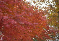 紅葉の季節を迎えています!